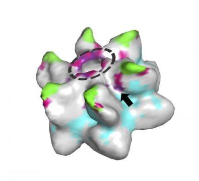 레트로바이러스 캡시드 6량체의 모형. 동그라미 부분은 대부분의 레트로바이러스에서 공통적으로 볼 수 있는 잘 보존된 베타 헤어핀 도메인이다. 화살표는 구세계 원숭이의 항바이러스 방어 단백질인 TRIM5 의 렌티바이러스 인식에 영향을 미치는 것으로 생각되는 추가적인 위치를 가지고 있는 포켓을 가리킨다. Credit: Johnson et al, CC-BY