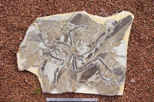 새와 닮은 공룡인 안키오르니스 훅슬레이(Anchioris huxleyi)의 화석에 색소와 세포내 소기관이 남아 있다는 증거가 발견되었다. Credit: Thierry Hubin/RBINS