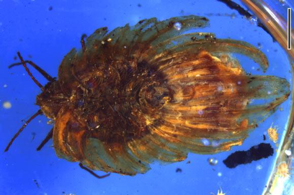 버마에서 발견된 백악기 중기의 호박에 보존되어 있는 와톤다라 코테자이(Wathondara kotejai). 스케일바의 길이는 1mm. Image credit: Bo Wang et al.