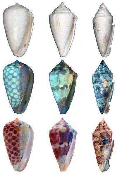 새로 보고된 세 개의 종, 코누스 카를로타이 (Conus carlottae, 왼쪽), 코누스 가리소니(Conus garrisoni, 가운데), 그리고 코누스 벨라코엔시스 (Conus bellacoensis, 오른쪽) 을 일반 조명 (윗줄), 자외선 조명(가운데줄) 아래서 찍은 사진들. 자외선 조명에서 밝게 형광을 내는 부분은 살아있었을 때는 어두운 색이었을 것이다. (아랫줄) Credit: Jonathan Hendricks; CC-BY
