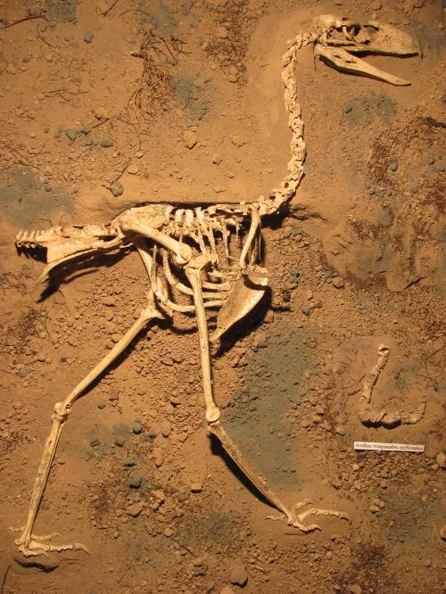마르 델 플라타의 로렌조스카글리아 시립 자연과학 박물관에 전시된 랄라와비스 스카글리아이의 골격. http://www.facebook.com/paleontologiamdp 에서 더 자세한 내용을 볼 수 있다. Credit: M. Taglioretti and F. Scaglia