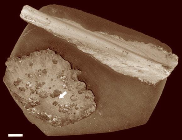 1억년 된 바다거북 뼈를 CT 스캔하여 재구성한 것. 화살표가 가리키는 것이 고대의 오세닥스 벌레가 파먹은 자국이다. 스케일바는 1cm 길이. Image credit: Silvia Danise / Nicholas Higgs.