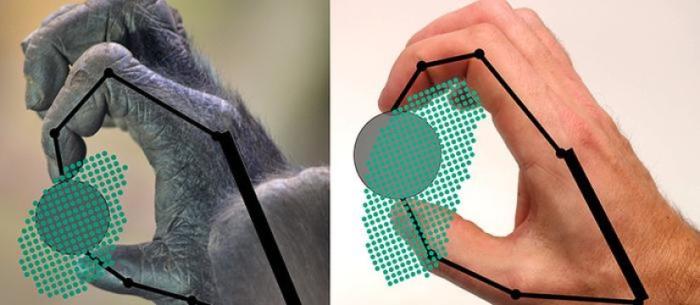 위의 그림은 고릴라와 인간이 물건을 어떻게 움켜쥐고 움직일 수 있는지를 보여주고 있다. 점들은 손이 물건을 어느 위치에서 잡을 수 있는지 나타낸다. Credit: Yale University