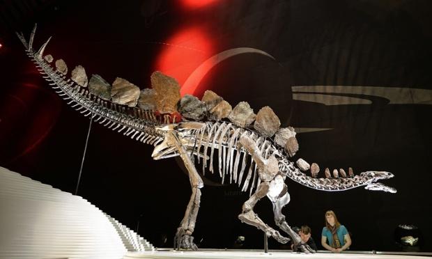 불행히도 이번 발견은 런던의 자연사박물관에 있는 스테고사우루스 표본인 소피의 성에 대해서는 말해주고 있지 않다. 소피는 연구 대상이 되었던 스테고사우루스와는 다른 종에 속하기 때문이다.* Photograph: John Stillwell/PA
