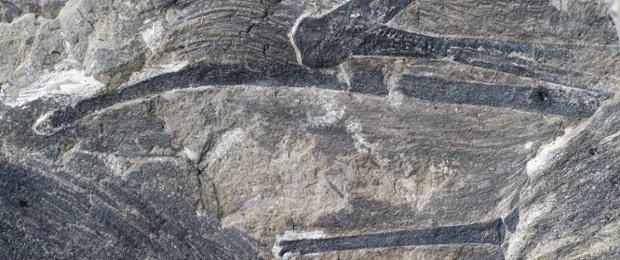 긴 막대 모양을 한 이 치의 오른손목뼈 (사진에서 가장 길게 보이는 것). 끝부분에 비막의 일부가 보존되어 있으며 깃털들이 많이 보인다. Photograph: Zang Hailong