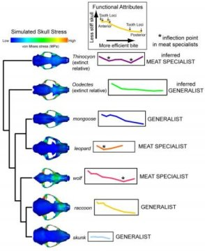 연구팀이 생체역학적 특성을 연구하기 위해 사용한 여러 종의 두개골을 보여주는 그림. 각 동물의 무는 힘과 두개골의 강직도를 비교하여 생체역학적 특성 곡선을 그렸다. 서로 가까운 관계인 표범과 몽구스가 함께 묶이는 등 조상의 식성이 모델에 큰 영향을 끼치기는 하지만, 개별 동물의 생체역학적 특성 곡선의 모양을 보고 식성에 대한 예측도 할 수 있는 것으로 나타났다. Credit: Copyright AMNH/Z.-J. Tseng