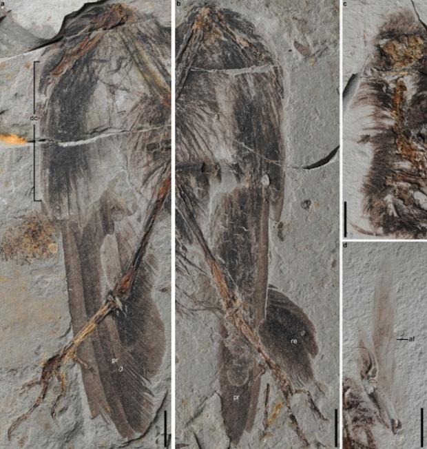 잘 보존되어 있는 새의 깃털. 왼쪽부터 시계방향으로 왼쪽 날개, 오른쪽 날개, 두개골 위의 장식깃과 목, 왼쪽 작은날개깃의 깃털. Photograph: Wang et al., Nature Communications