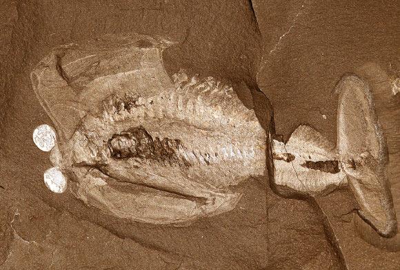 오다라이아 알라타 (Odaraia alata). 방울처럼 튀어나온 두 눈과 튜브 형태로 생겨서 등쪽이 열린 껍질을 가지고 헤엄을 치는 대형 절지동물. Image credit: Jean Bernard Caron, Royal Ontario Museum.