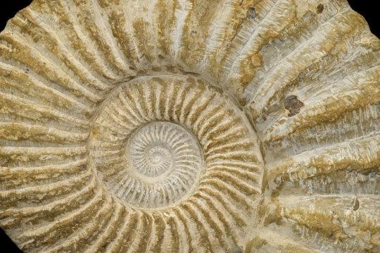 대형 암모나이트 화석. 지름 약 50cm. Credit: ⓒ marcel / Fotolia