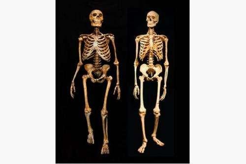 네안데르탈인 (왼쪽) 과 현생 인류의 골격 비교. Credit: American Museum of Natural History