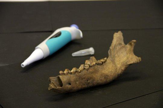 피펫과 타이미르 늑대 아래턱뼈의 비교 Credit: Love Dalen (역주: ?? 피펫과 왜 비교를 함? 이해불가..)