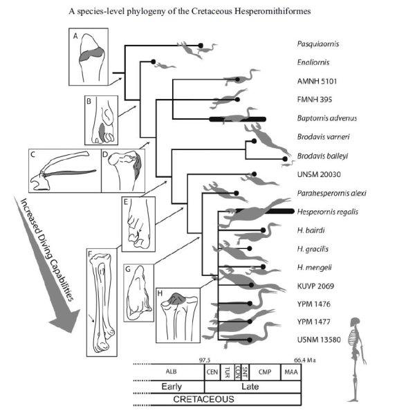헤스페로르니스형류 내에서의 다이빙에 특화된 진화의 양상 Credit: Image courtesy of Taylor & Francis