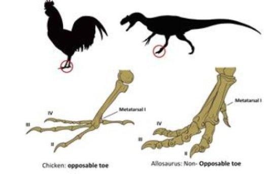 횃대에 올라앉을 수 있는 닭의 발가락에서 공룡의 발가락으로. Credit: Image courtesy of Universidad de Chile