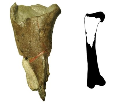 워싱턴 주에서 기재된 최초의 공룡 화석 (왼쪽) 은 넙다리뼈의 일부 (전체 모양은 오른쪽 그림) 로 수각류 공룡의 것이다. 수각류는 육식성이며 두 다리로 걸었던 공룡으로 티라노사우루스 와 벨로키랍토르가 포함된다. 화석은 버키 박물관의 고생물학자들이 산후안 제도 수키아 아일랜드 주립공원에서 발견하였다. Credit: Illustration courtesy of PLOS ONE, modified by the Burke Museum.
