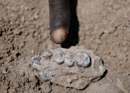 2011년 3월 4일에 발견된 아우스트랄로피테쿠스 데이레메다의 완모식표본 위턱. Credit: Yohannes Haile-Selassie / copyright Cleveland Museum of Natural History