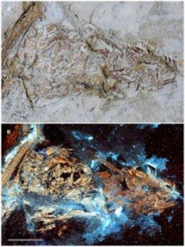 미크로랍토르 두개골은 합성된 것일까? (A) 백색광 하에서 보았을 때 미묘한 색 차이가 있다. (B) 레이저광으로 자극하자 화석의 광물조성 차이에 따라 뼈에서 형광이 발생한다. (역주: 사진의 왼쪽 부분 뼈는 색이 옅고, 오른쪽 부분 뼈는 주황색에 가까운 색을 보인다) 두개골은 합성된 것일 가능성이 높아 보인다. Credit: KU News Service/University of Kansas