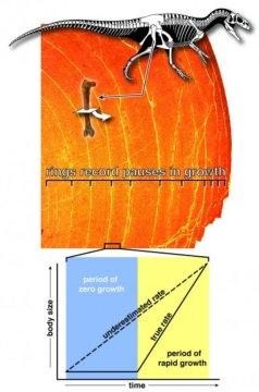 공룡 넙다리뼈 (femur) 를 현미경으로 관찰하면 동심원이 보인다. 이 동심원은 나무의 나이테처럼 매년 공룡의 뼈가 자라는 도중 자원이 희귀한 계절에 형성된다. 동심원 형태로 나타난 부분은 성장이 멈춘 시기이기 때문에 연평균 성장률 (그래프의 점선) 은 조건이 좋은 계절에 보이는 실제 성장률보다 과소평가된다. Credit: Scott Hartman