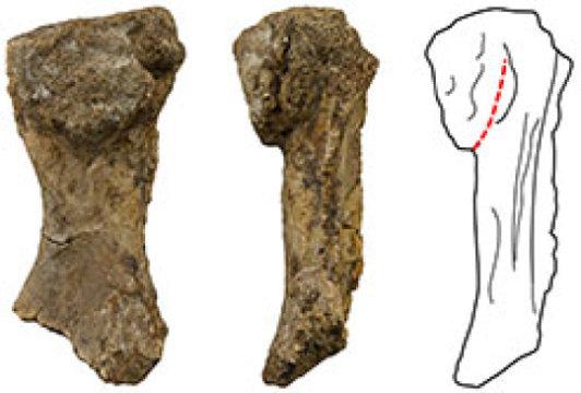 오시노두스 푸에리(Ossinodus pueri)의 노뼈(radius) 화석 Credit: Image courtesy of Queensland Museum.
