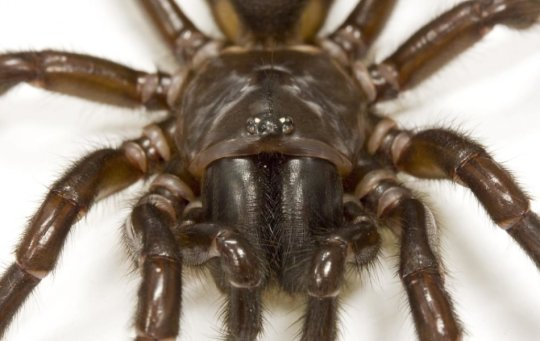 달링 다운스 깔때기그물거미. 이 거미의 독은 인슐린과 비슷한 호르몬에서부터 진화했다. Credit: Courtesy of Glenn King