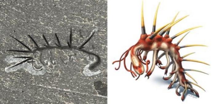 왼쪽: 버제스 셰일에서 발견된 할루키게니아 스파르사 (Hallucigenia sparsa). 표본번호 ROM 61513. 화석의 몸길이는 15mm. 오른쪽: 할루키게니아 스파르사의 복원도 Credit: Left: Jean-Bernard Caron; Right: Danielle Dufault