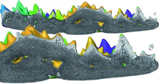 로문디나 스텔리나 (Romundina stellina) 치판 3D 모델의 단면. 금색에서 보라색으로 서로 다른 색깔은 이빨이 난 시기를 나타낸다. Credit: Martin Rucklin, Naturalis Biodiversity Center