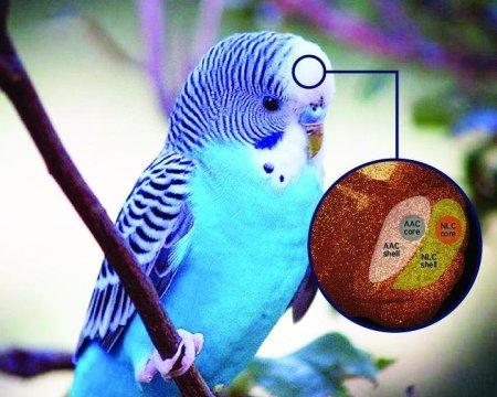 앵무새의 뇌에는 '알맹이와 껍질' 모양으로 중첩된 구조가 있어서 음성 학습을 담당한다. 앵무새 뇌에는 음성을 담당하는 것으로 정해진 알맹이 부분이 있는데, 이것을 둘러싸고 있는 껍질 부분의 뉴런들이 음성 학습 및 기타 복잡한 운동행위와 관련된 역할을 맡고 있다. 이 연구를 통해 말과 노래를 흉내내는 데 관련된 뇌 영역의 크기에 대한 논쟁이 해결될 전망이다. Credit: Courtesy of Jonathan E. Lee, Duke University