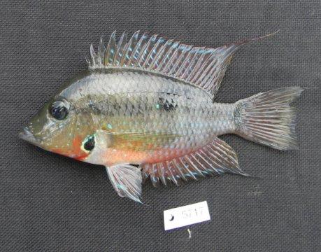 과테말라산(産) 시클리드인 토리크티스 미키(Thorichthys meeki). 루이지애나 주립대학 어류학 큐레이터인 프로산타 차크라바티가 파나마 지협의 형성 시기에 대한 새로운 연구를 위해 수집하였다. Credit: Courtesy of Prosanta Chakrabarty, LSU