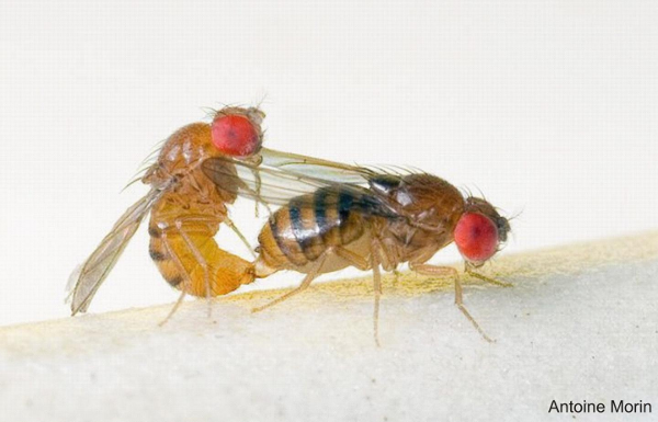 교미 중인 드로소필라 세라타 (Drosophila serrata) CREDIT: ANTOINE MORIN