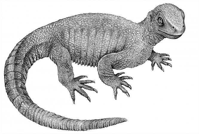 파포켈리스는 몸길이 20cm 까지 자랐고 긴 꼬리를 가졌으며 작고 뭉툭한 이빨로 작은 곤충과 벌레들을 잡아먹으면서 현재는 독일 남부가 된 지역에 살았다.