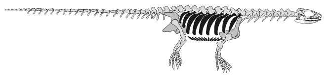 파포켈리스의 골격 복원도. 갈비뼈 (검은색) 과 두개골의 구멍을 보여주고 있다.