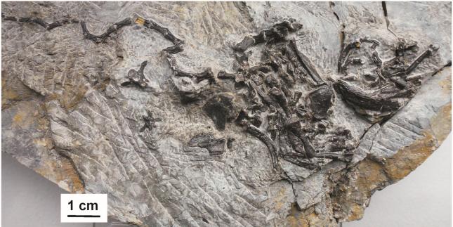 사진에 보이는 파포켈리스의 표본을 통해 복갑이라고 불리는 거북 껍질의 배 부분이 갈비뼈처럼 생긴 구조와 어깨뼈의 일부분이 봉합되어 만들어진다는 것이 확인되었다.