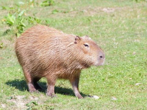캐피바라. 연구자의 말에 따르면 몸무게가 45kg 로 남아메리카에 살며 세인트버나드견만큼 커다란 캐피바라는 만일 이 크기가 해당 종의 정상적인 크기라면 특이한 경우는 아니라고 한다. Credit: ⓒ maradt / Fotolia
