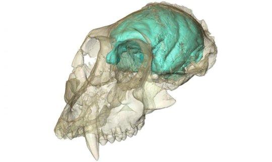 가장 오래된 구세계 원숭이 두개골 내부의 뇌가 최초로 시각화되었다. 빅토리아피테쿠스 (Victoriapithecus) 라는 이름을 가진 이 고대의 원숭이는 1500만년 전에 살았던 종류로 케냐 빅토리아 호수의 한 섬에서 두개골이 발견되었고, 1997 년에 크게 보도되었다. X-레이 영상기법을 이용하여 연구진이 두개강 내부를 살펴보고 원숭이의 뇌가 어떻게 생겼을지 3차원 컴퓨터 모델을 만들었다. 뇌는 작지만 놀랍도록 주름져 있어 영장류의 가계도에서 뇌의 복잡성이 뇌의 크기보다 먼저 진화할 수 있었음을 시사한다. 이 생명체의 화석 두개골은 현재 나이로비에 위치한 케냐 국립 박물관의 영구 소장품 중 하나이다. Credit: Photo courtesy of Fred Spoor of the Max Planck Institute for Evolutionary Anthropology.