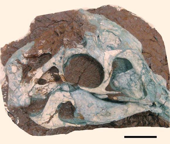 후아난사우루스 간조우엔시스의 두개골 사진. 스케일 바는 5 cm 길이. Image credit: Lu, J. et al.