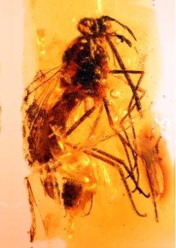 엘 소플라오 동굴에서 발견된 호박 조각에 부키나토르미아 마그니피카 (Buccinatormyia magnifica) 의 표본이 들어있다. Credit: Image courtesy of Universidad de Barcelona