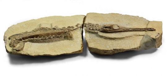 몸길이 23cm 인 바다악어인 펠라고사우루스 티푸스의 새끼 화석. 스트로베리 뱅크에서 발견된 해양파충류의 다수는 어린 개체들이다. Credit: ⓒ Bath Royal Literary and Scientific Institution