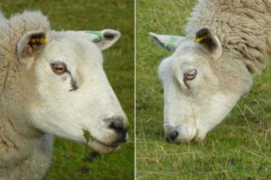 풀을 뜯는 먹이 동물들은 가로로 길쭉해서 시야를 넓혀주는 눈동자를 가지고 있다. 이들의 눈은 회전이 가능해 머리를 똑바로 앞을 향하건 아래로 숙이건 상관 없이 눈동자가 땅과 평행을 이루도록 해준다. Credit: Photo by Gordon Love, Durham University
