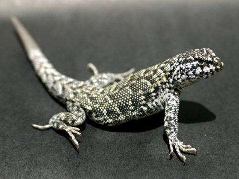 연구자들은 리오라이무스 도마뱀이 극한의 사막, 추운 기후, 그리고 안데스 산맥의 높은 고도를 포함하여 예외적으로 넓은 범위의 생태적 조건 및 기후조건에 적응했기 때문에 이 파충류 종류를 연구하기로 했다. Credit: Image courtesy of University of Lincoln