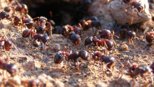 수확개미 (rough harvester ant, Pogonomyrmex rugosus)의 일개미들. 사회적 기생충에 의해 이용되는 숙주 종의 하나로 이번 연구를 통해 유전체 서열분석이 이루어어진 종들 중 하나이기도 하다. Credit: Chris R. Smith, used with permission