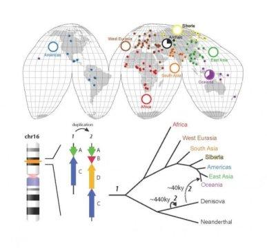 위쪽에서부터 반시계방향으로: 표본에 포함된 인구집단의 지리적 위치. 파이 도표는 오세아니아 인구집단들과 오래전의 데니소바에서만 발견되는 ~225 kbp 길이의 복제 다형성에 대한 해당 대륙 인구집단의 대립유전자 빈도를 보여준다. 이 복제가 있었던 유전자좌의 원래 구조 (1) 와 데니소바인에게서 발견되는 복제 구조 (2) 의 위치가 각각 16번 염색체 위의 상대적인 위치로 표시되어 있다. 이 복제 사건은 44만년 전에 데니소바인에게서 일어났고, 이후 약 4만년 전에 파푸아인들의 조상에게 침투한 것으로 짐작한다. Credit: Peter H. Sudmant