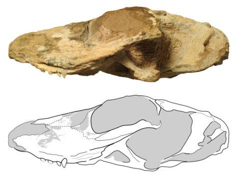 닥스훈트 정도 크기였을 것으로 보이는 이치벤곱스는 약 2억5500만년 전에 살았다. Credit: Image courtesy of Field Museum
