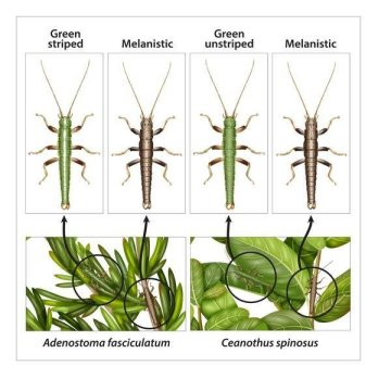 콜로라도 대학 볼더의 과학자들이 참여한 새로운 연구에서는 대벌레인 티메마 크리스티나이 (Timema cristinae) 의 세 가지 형태에서 자연선택의 역할을 살펴보았다. 위의 그림은 녹색, 줄무늬, 그리고 짙은색 혹은 갈색 형태들이 어떻게 각각 두 개 종의 관목 특정 부위에서 해당 부위에 맞는 보호색을 진화시켰는지를 보여준다. Credit: Illustration credit Rosa Marin