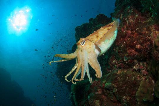 이번 발견은 오랫동안 받아들여지던 이론, 즉 산소 농도에 급격한 변화가 미생물, 조류, 그리고 해면동물 등 덜 복잡한 형태의 생물로부터 고래, 상어, 그리고 오징어 같은 복잡한 형태의 생물이 진화하는 데 중요한 역할을 했다는 이론에 의문을 제기하고 있다. Credit: ⓒ Richard Carey / Fotolia