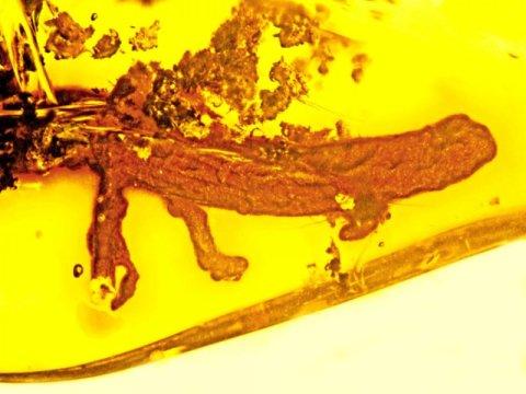 지금은 도롱뇽이 모두 멸종된 지역인 도미니카 공화국에서 예상치 못하게 최초로 호박 속에서 발견된 도롱뇽. Credit: Photo by George Poinar, Jr., courtesy of Oregon State University