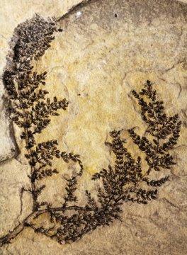 몬트세키아 (Montsechia) 화석의 대형 표본. 보통은 작게 조각난 화석만이 발견된다. Credit: David Dilcher