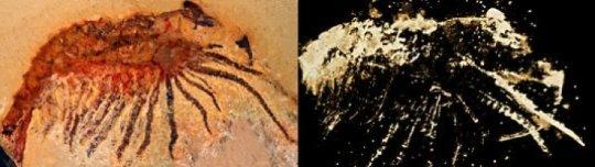 왼쪽은 광학현미경을 통해 찍은 화석의 사진. 오른쪽의 마이크로CT 이미지에서는 암석 속에 숨겨져 있던 구조와 세부사항까지 볼 수 있다. Credit: Image courtesy of LMU