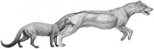 두 종류의 초기 개, 왼쪽의 헤스페로키온과 그보다 나중에 나타난 오른쪽의 순카헤탄카, 이 둘은 모두 매복 포식자였다. 기후가 이들의 서식지를 변화시키면서 개들은 추격하는 형태의 사냥을 하도록 진화했으며 앞다리 구조 역시 그에 맞게 변화했다. Credit: Mauricio Anton