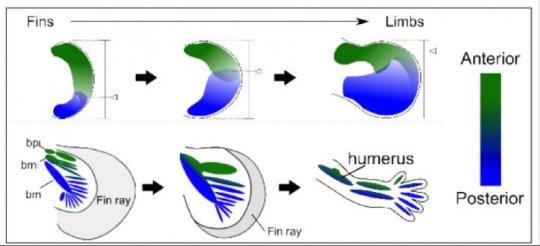 지느러미에서 다리로의 진화 모형. 앞쪽 (녹색) 과 뒤쪽 (파란색) 필드의 균형에 생긴 점진적인 변화가 지느러미에서 다리로의 진화를 이끌었을 수 있다. Credit: Mikiko Tanaka, Tokyo Institute of Technology