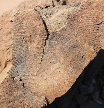 스와트펀트 농장 발굴지에서 발견된 에디아카라 화석. Credit: Sarah Tweedt / Smithsonian Institution