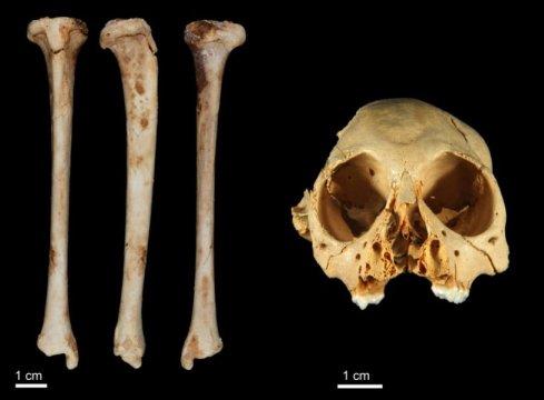 안틸로트릭스의 두개골과 뼈. Credit: Journal of Human Evolution